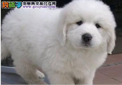 北京售纯种大白熊幼犬终身品质保障 品相极佳 保健康