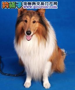 鹤壁出售苏格兰牧羊犬三色 品相好 冠军级血系苏牧宝宝