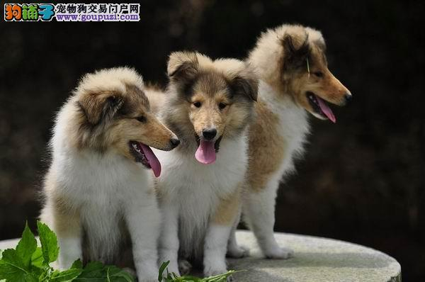 湘潭出售苏格兰牧羊犬 性格忠实活泼、疫苗做好2