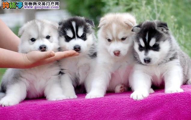 出售郑州体态完美哈士奇幼犬 品相纯正 三把火 双蓝眼3
