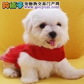 出售纯种马尔济斯幼犬 纯种健康 公母都有 可上门选购