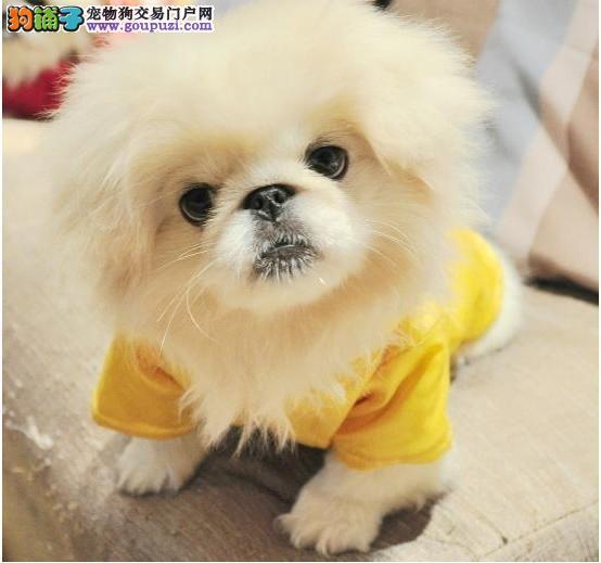 北京健身姿温顺性格京巴宝宝 纯种京巴犬出售