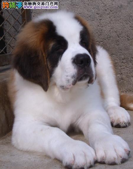 出售巨型圣伯纳犬 血统纯种圣伯纳犬憨厚大型圣伯纳