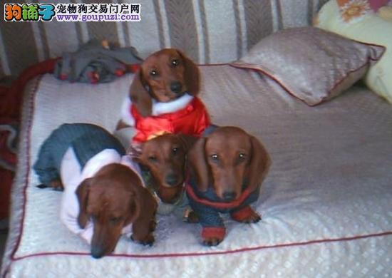 广东最大养狗场出售纯种腊肠犬 佛山哪里有卖腊肠