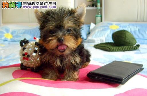 超小体约克夏幼犬可免费送到家 超萌可爱深圳正规狗场