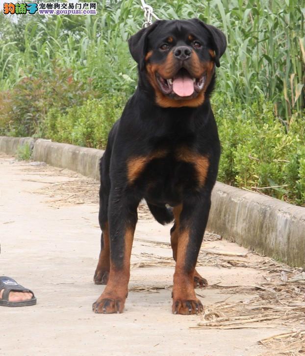 纯种德系罗威纳犬,护卫犬,品质健康血统纯正2
