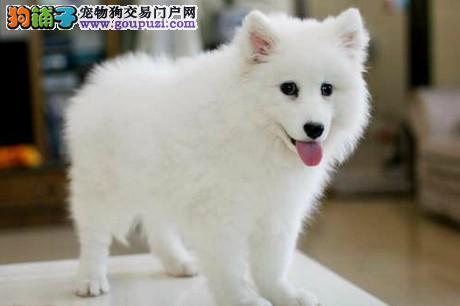百分百健康纯种银狐犬青岛热卖中价格美丽品质优良