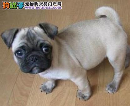 东莞什么地方有狗场卖巴哥犬宠物狗东莞哪里有卖2