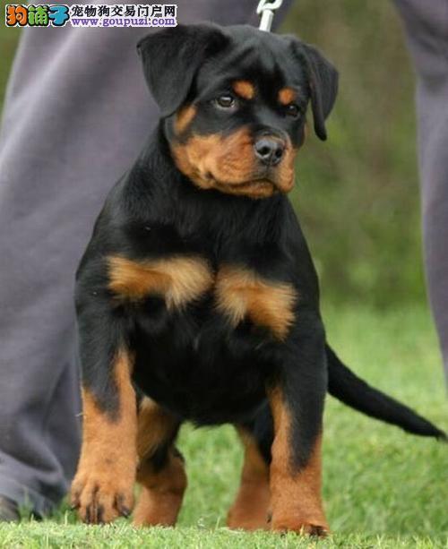 天赐犬業罗威纳专业养殖基地顶级幼犬待售中签定协议