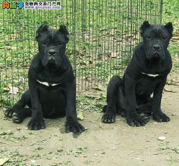 乌鲁木齐赛级卡斯罗犬转让 保纯保健康签订质保协议