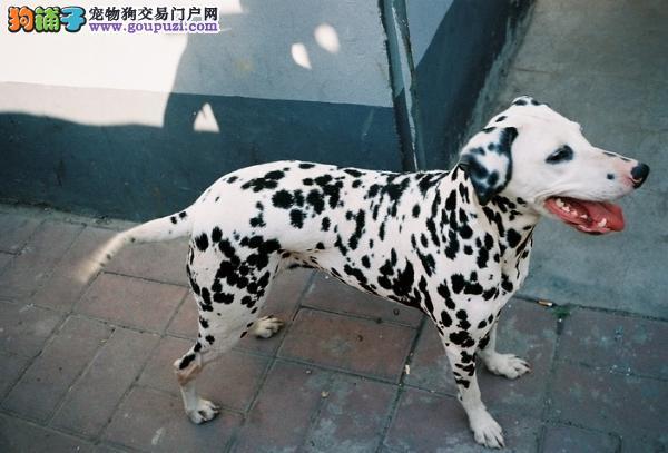 实物拍摄的斑点狗找新主人欢迎实地挑选