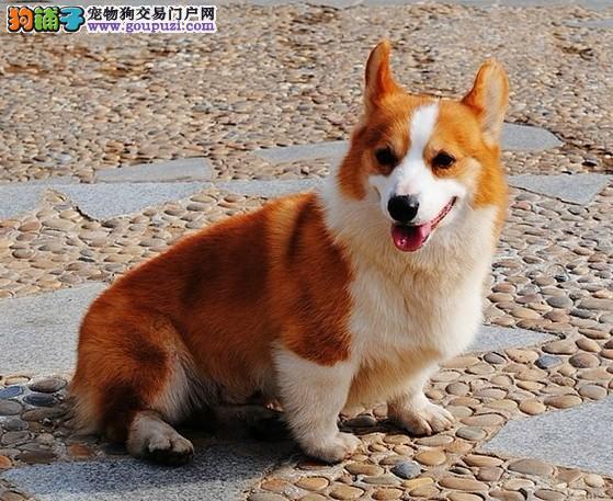 小短腿,大耳朵机灵柯基犬,可以办理血统证书