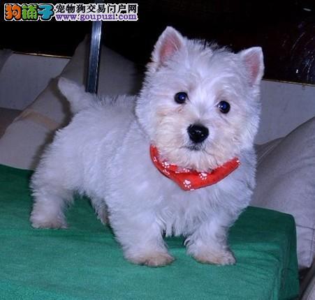西城双赛级血统活体宠物狗家养西高地白梗犬幼犬出售