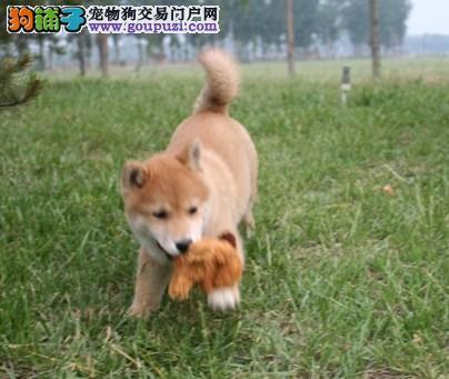 纯种巴西犬 日系柴犬 市售日本柴狗保健康包退