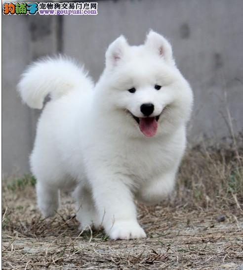 出售微笑天使萨摩耶幼犬 赛级犬后代 保健康纯种签协议