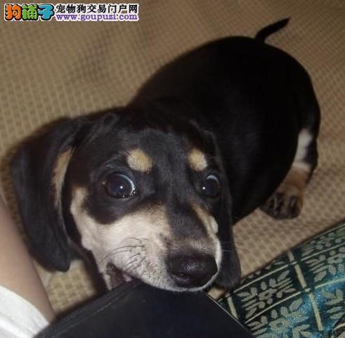 腊肠犬哪个地方有卖 迷你腊肠幼犬 黑黄哪一种好看