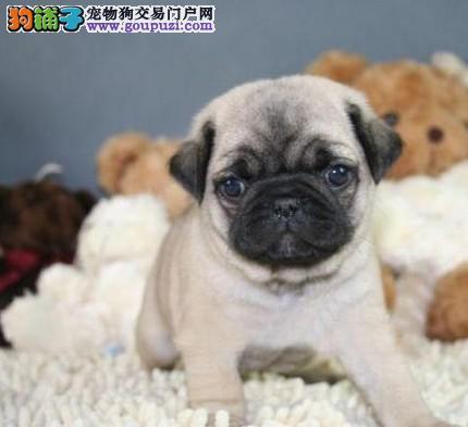 专业繁殖纯种北京巴哥犬疫苗齐全欢迎实地挑选