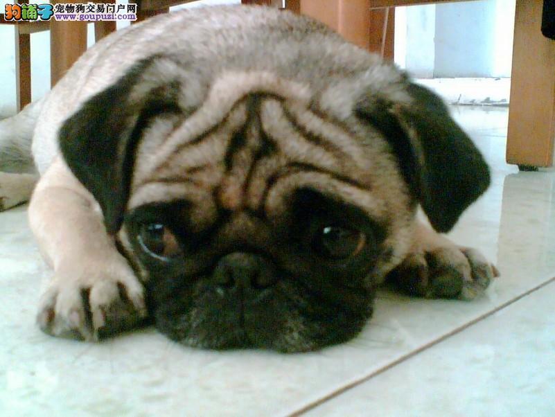 吐鲁番售巴哥犬签协议死亡包赔已做疫苗驱虫八哥犬
