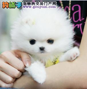 聪明可爱洋气好玩的茶杯犬宝宝出售