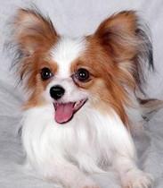 出售正宗血统优秀的黔南州蝴蝶犬欢迎爱狗人士上门选购