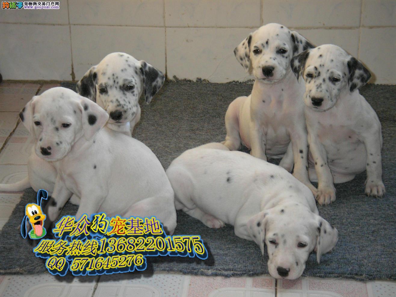 101斑点狗 中山哪里买斑点狗 纯种斑点狗多少钱一只