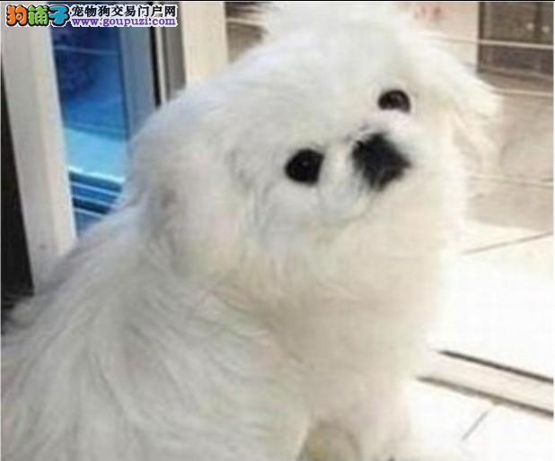 家养纯种京巴幼犬/白色/哈巴狗/家养/可上门挑选