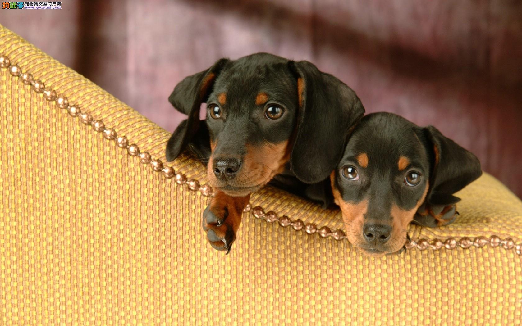 腊肠犬幼犬出售中,公母均有多只选择,三包终生协议