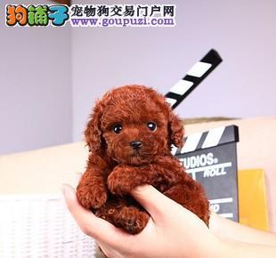 广州犬舍出售纯种泰迪熊 泰迪犬包养活可退换放心购买