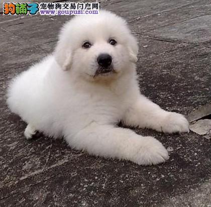 狗场直销精品,大白熊幼犬,骨量大毛量足,欢迎上门选购