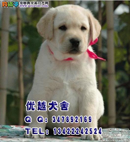 出售纯种拉布拉多导盲幼犬 买纯种导盲犬小Q 拉多