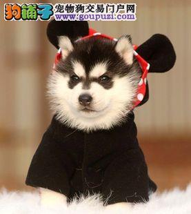 一窝品相好蓝眼广州哈士奇幼犬 均可签署正规购犬合同