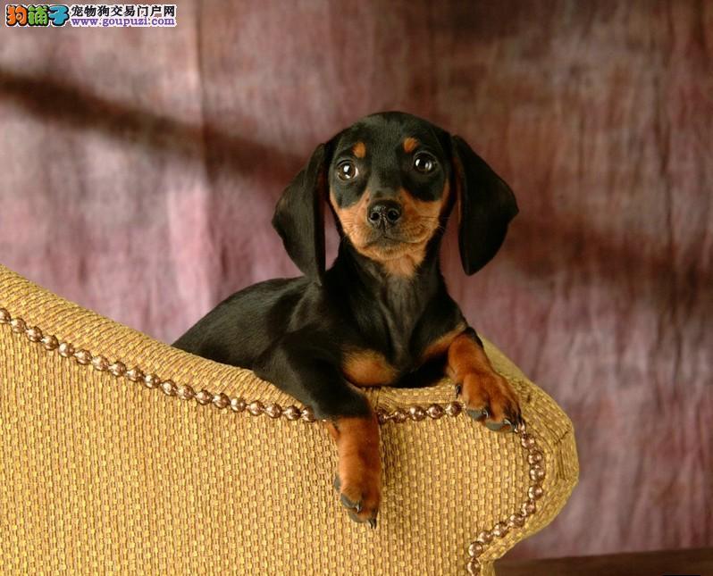 深圳哪里可以买纯种腊肠犬幼犬2