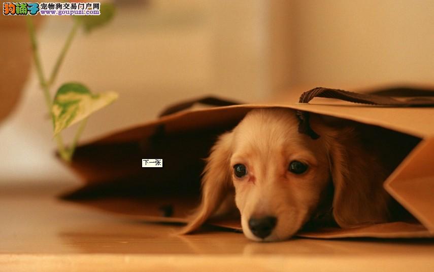 三亚纯种腊肠犬出售品相好签协议包纯包健康3个月退换4