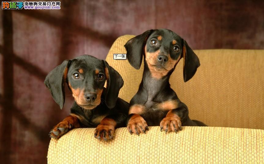 腊肠犬海口最大的正规犬舍完美售后微信看狗可见父母