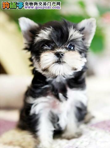 长沙哪里哪里有卖约克夏犬纯种健康的约克夏哪里有卖