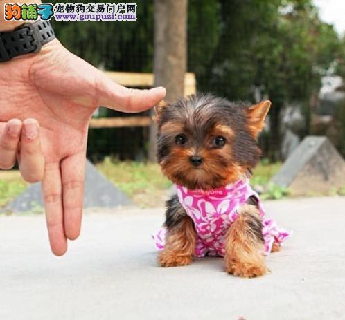 小巧可爱约克夏犬出售贵族的象征图片