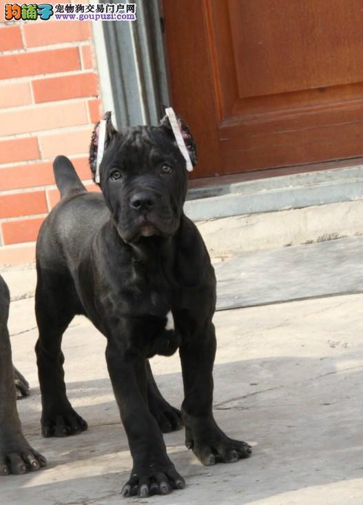 出售高品质卡斯罗护卫犬卡斯罗幼犬可上门看狗