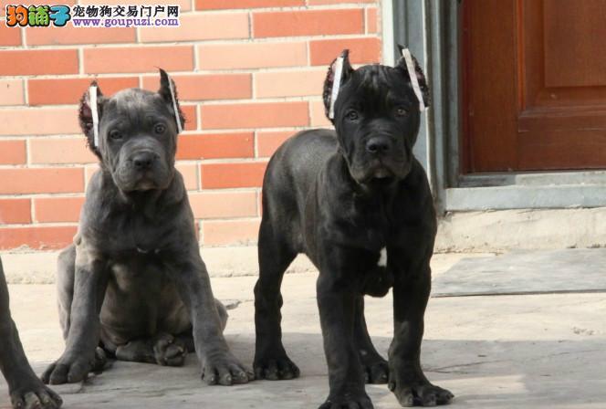 猛犬卡斯罗威猛护卫 成都专业犬舍繁殖