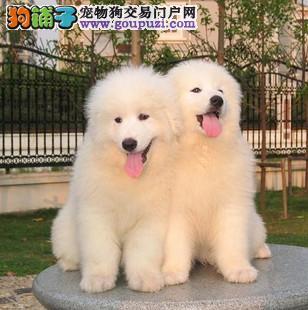 重庆哪里可以买到纯种健康大白熊犬 纯种大白熊犬价格