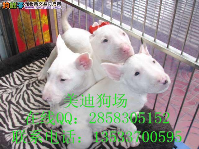 广州有卖的斗牛梗北京斗牛梗价钱老广州羊蝎子哪家图片