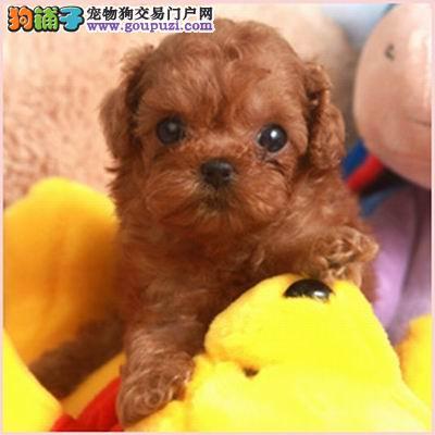 人气宝贝泰迪熊贵宾犬小巧玲珑可爱活波超卡哇伊