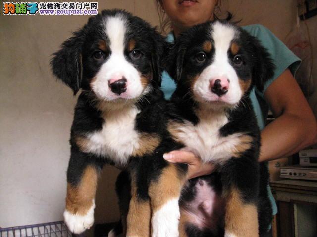 南京热销伯恩山颜色齐全可见父母微信咨询看狗