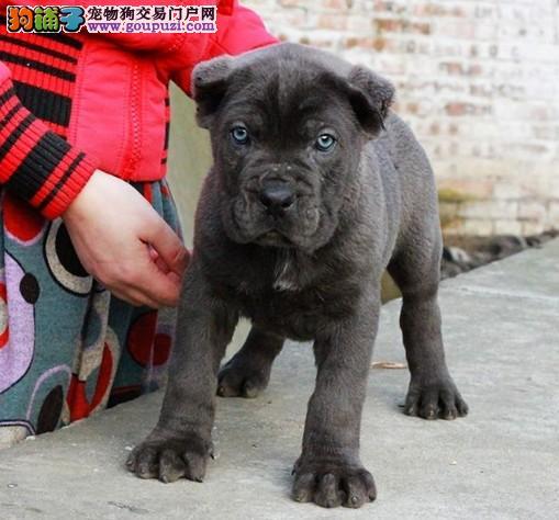 冠军级后代卡斯罗犬,CKU认证血统纯正,提供养狗指导
