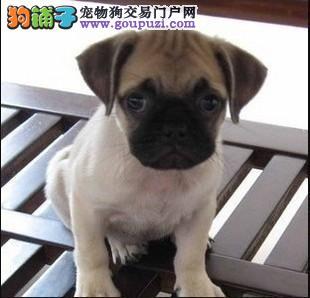 直销巴哥犬幼犬 可办理血统证书 诚信经营保障