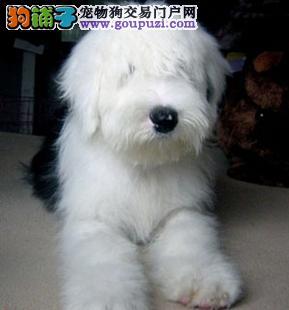 萌萌哒古代牧羊犬 济南纯种出售 购买就送礼品