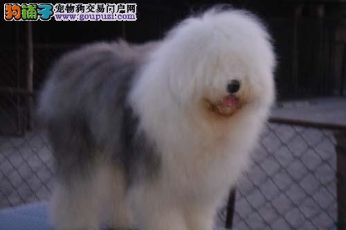 哈尔滨地区出售古牧幼犬