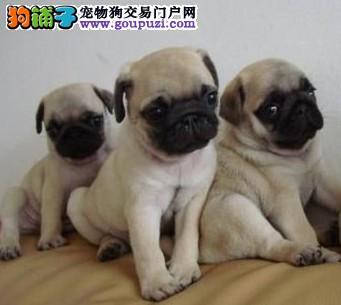 郑州/郑州出售纯种家养八哥(公母全有)