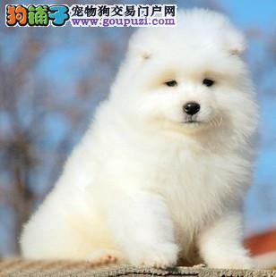 北京正规犬舍繁殖纯微笑天使萨摩耶幼犬保纯种健康可送