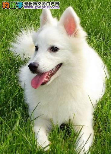 纯种银狐犬上海哪里有卖银狐犬要多少钱