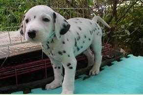 南京市出售斑点狗幼犬 纯种健康 签协议 驱虫疫苗已做